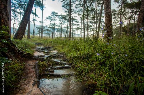 Papiers peints Rivière de la forêt Pine forest in Thailand