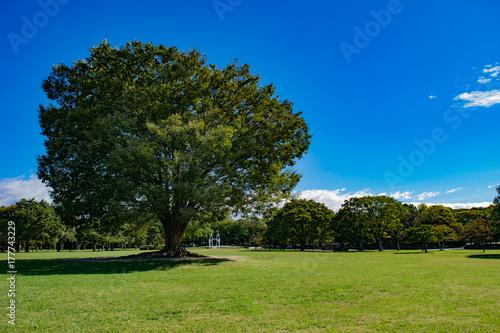 芝生広場の大きな木 Poster