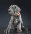 Posing purebred puppy