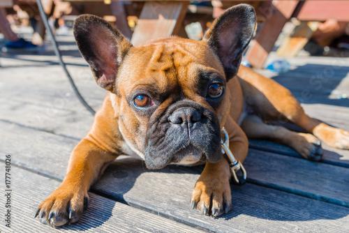 Fotobehang Franse bulldog French bulldog on brown terrace looking at camera