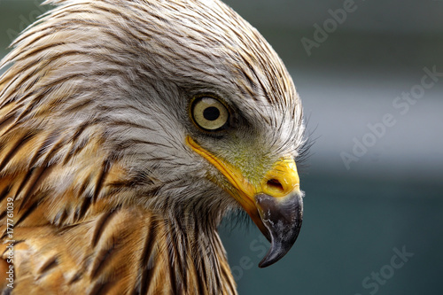 Sharp look of a red kite - Milvus milvus Poster