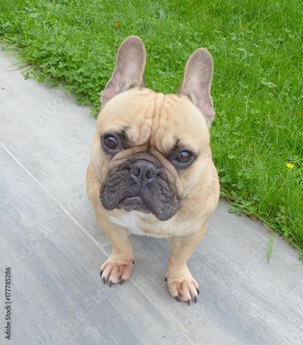 Papiers peints Bouledogue français portrait chien bouledogue français fauve,isolé