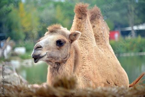 Fotobehang Kameel un cammello in primo piano un cammello in primo piano, guarda verso l'obiettivo