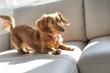 cute teckel dog at home