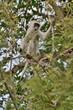 Singe de Vervet avec sa face noire bordée de poils blancs, dans un arbre, mangeant des fruits, dans le Parc de Tsavo Est, Kenya - 177796240