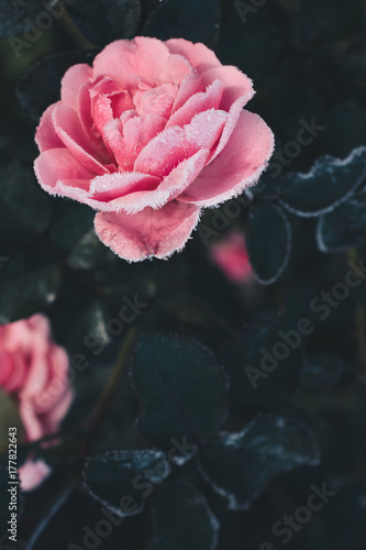 Frosty gorgeous pink garden rose against dark foliage, copy space