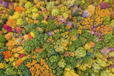 Top aerial view of colorful maple forest trees, autumn season. Michigan State, United States