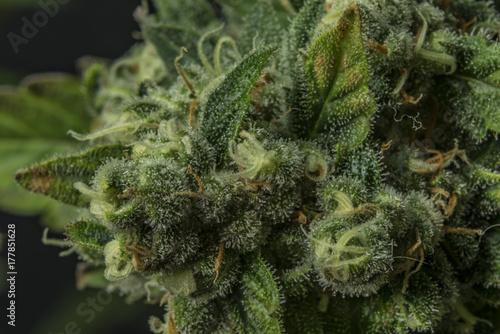 Poster Macro detail of AK-47 variety of medical marijuana