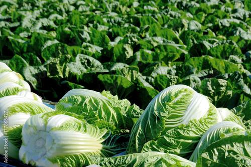 Fotobehang Groene 白菜畑 収穫した白菜