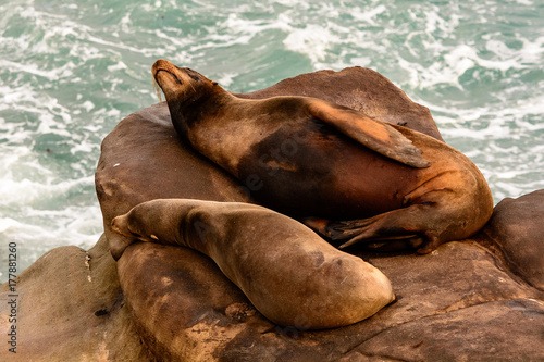 Sea lions sleeping on rocks Poster