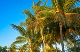 Caribbean coconut palm trees Holbox island - 177886498