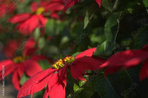 Poster Canarische Eilanden Poinsetia,the Christmas flower