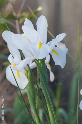 Fotobehang Iris White Iris flowers in full bloom during spring time