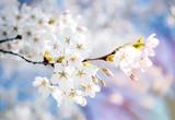 kirschblüte im frühling - 177899466