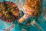 Turtles photomount in Caribbean water - 177902293