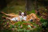 Chihuahua und Golden Retriever im herbstlichen Wald