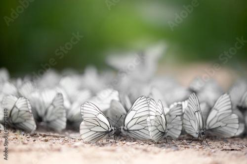 Aluminium Vlinder Invasion of the butterflies. Summer. Unique image.