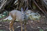 Venado deer in Riviera Maya Mexico - 177910213