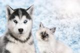 Cat and dog together on bright light snow background, neva masquerade, siberian husky looks straight. Christmas mood - 177935446