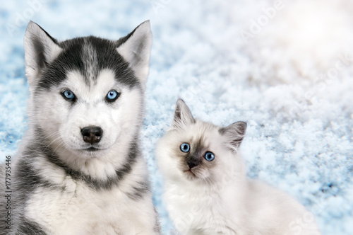 Cat and dog together on bright light snow background, neva masquerade, siberian husky looks straight Poster
