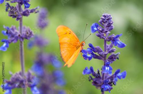 Foto op Canvas Arizona Julia Butterfly