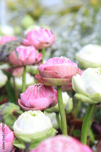 selective focus to fresh lotus Poster