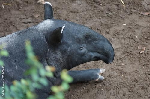 Aluminium Panter Tapir im Zoo