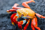 Sally lightfoot crab - 177972204