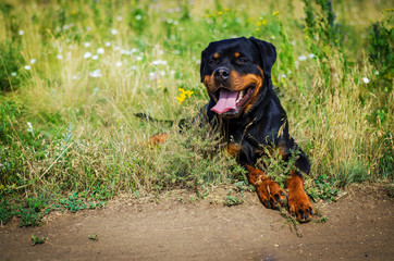 portrait of a dog of breed a rottweiler on walking