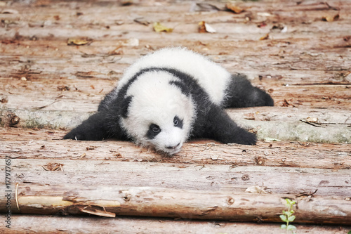 Picture of a cute giant panda baby. Poster