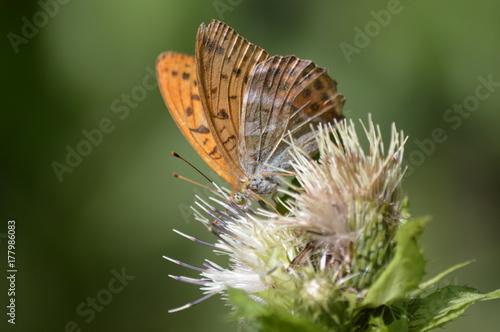 Fotobehang Vlinder Kaisermantel