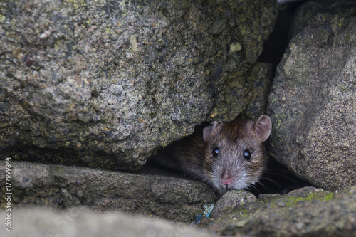 Brown Rat Poster