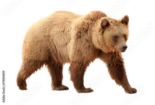 Fotobehang Leeuw Brown bear on white background