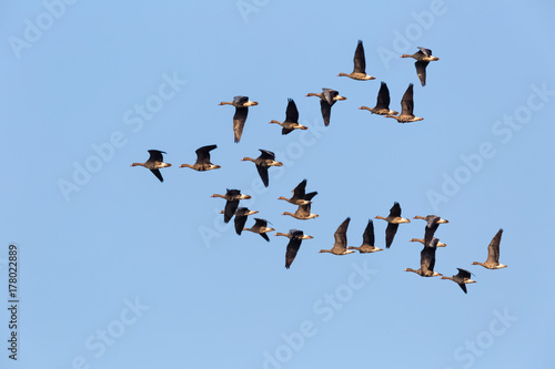 wild geese flying Poster