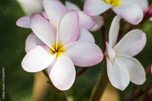 Plexiglas Plumeria Close up White flower