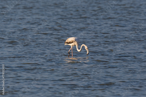 greater flamingo (phoenicopterus ruber) wading in water foraging in sunshine Poster