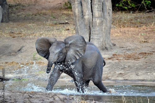 Baby elephant storming into water Poster