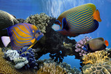 Angelfish (Pomacanthidae). Red Sea - 178054243