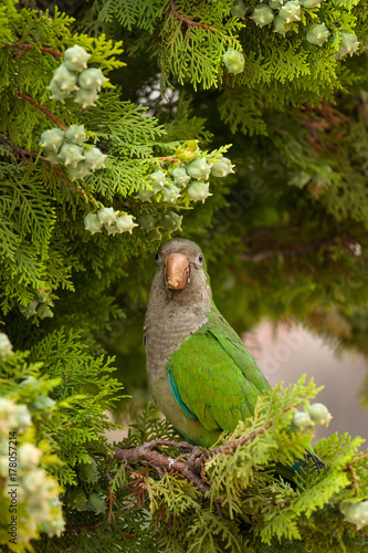 MS Monk Parakeet parrot (Myiopsitta monachus) perching on tree branch / Barcelon Poster