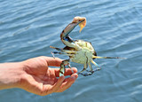 the fisherman caught the blue crab - 178059693