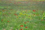 poppy flowers on uncultivated field