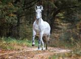 Arabian horse running free in autumn forest - 178068871