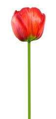 Red tulip flower isolated on white background