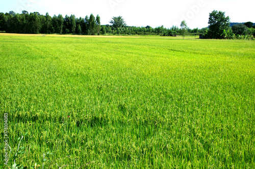Aluminium Lime groen Landscape green rice fields are beautiful produce grains in Thailand