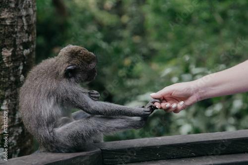 Aluminium Aap Monkeys in Ubud Sacred Monkey Forest. Bali, Indonesia