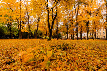 Leaf fall in the park in autumn with maples.
