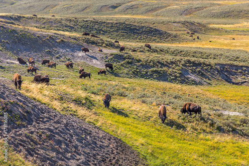 Aluminium Bison Herd of Bison grazing in Yellowstone National Park, WY, USA