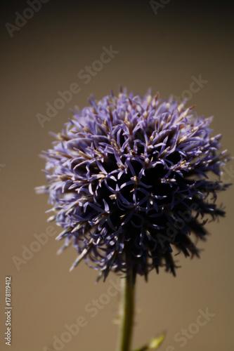 violet garlic flower in sunlight Poster