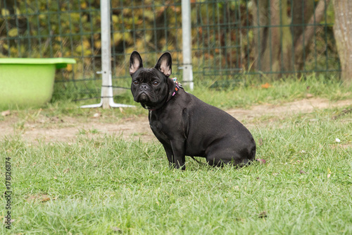 Tuinposter Panter bouledogue