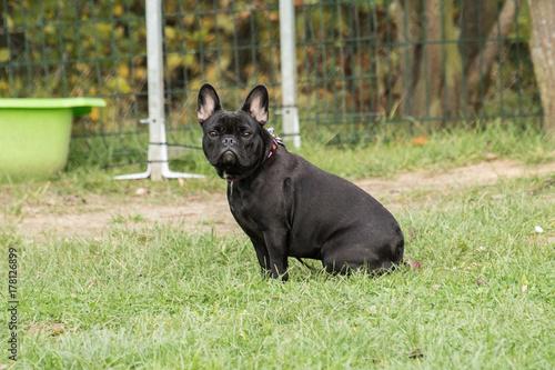 Deurstickers Franse bulldog bouledogue